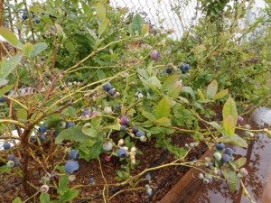 Blueberries from Divine Pasta Co